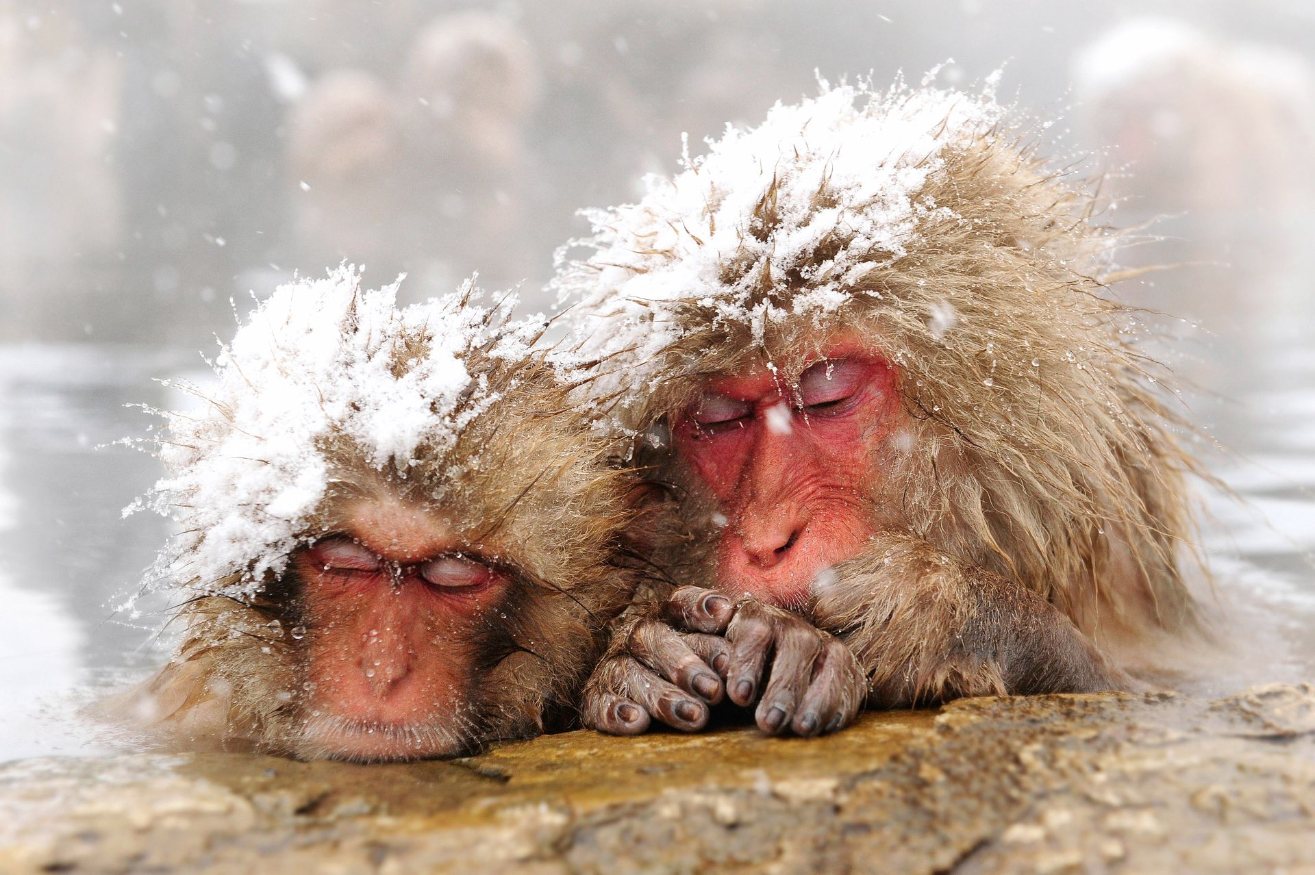 Snow-capped Snow Monkeys