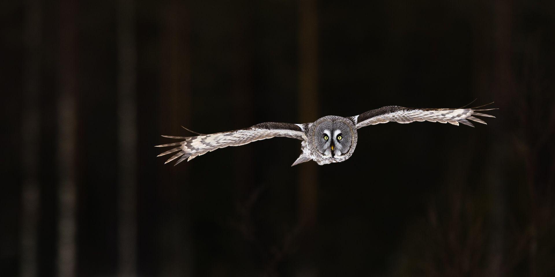 Great Grey Owl in Dark Forest