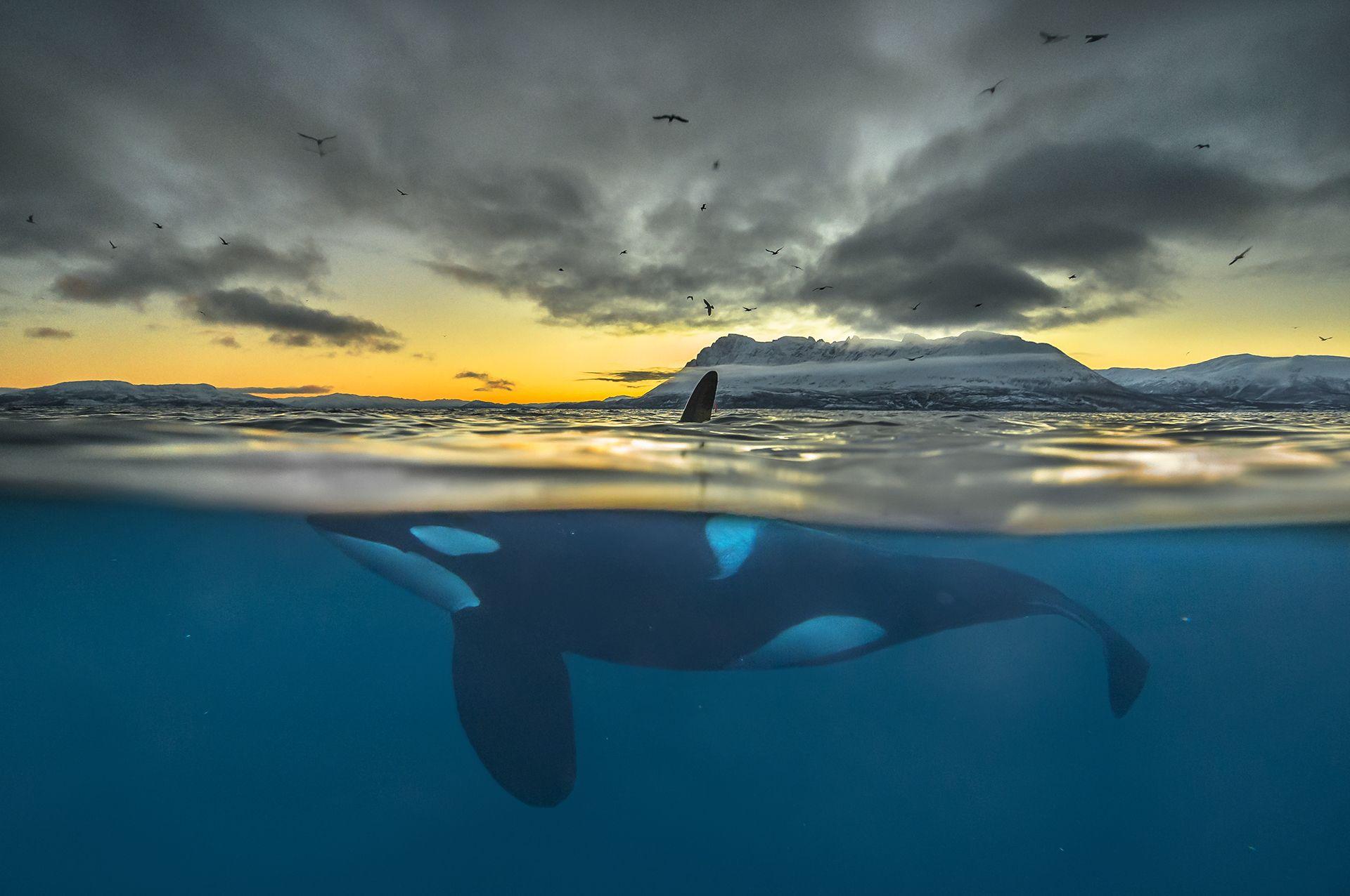 Killer Whale in Polar Night