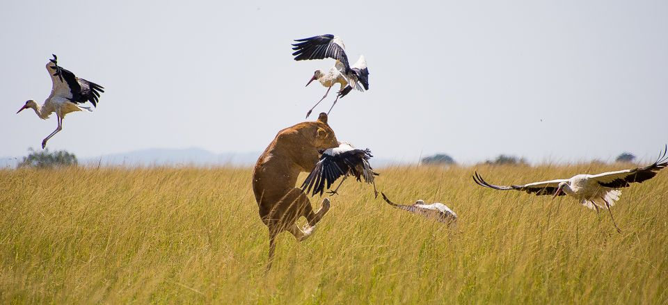 The only stork hunter lion