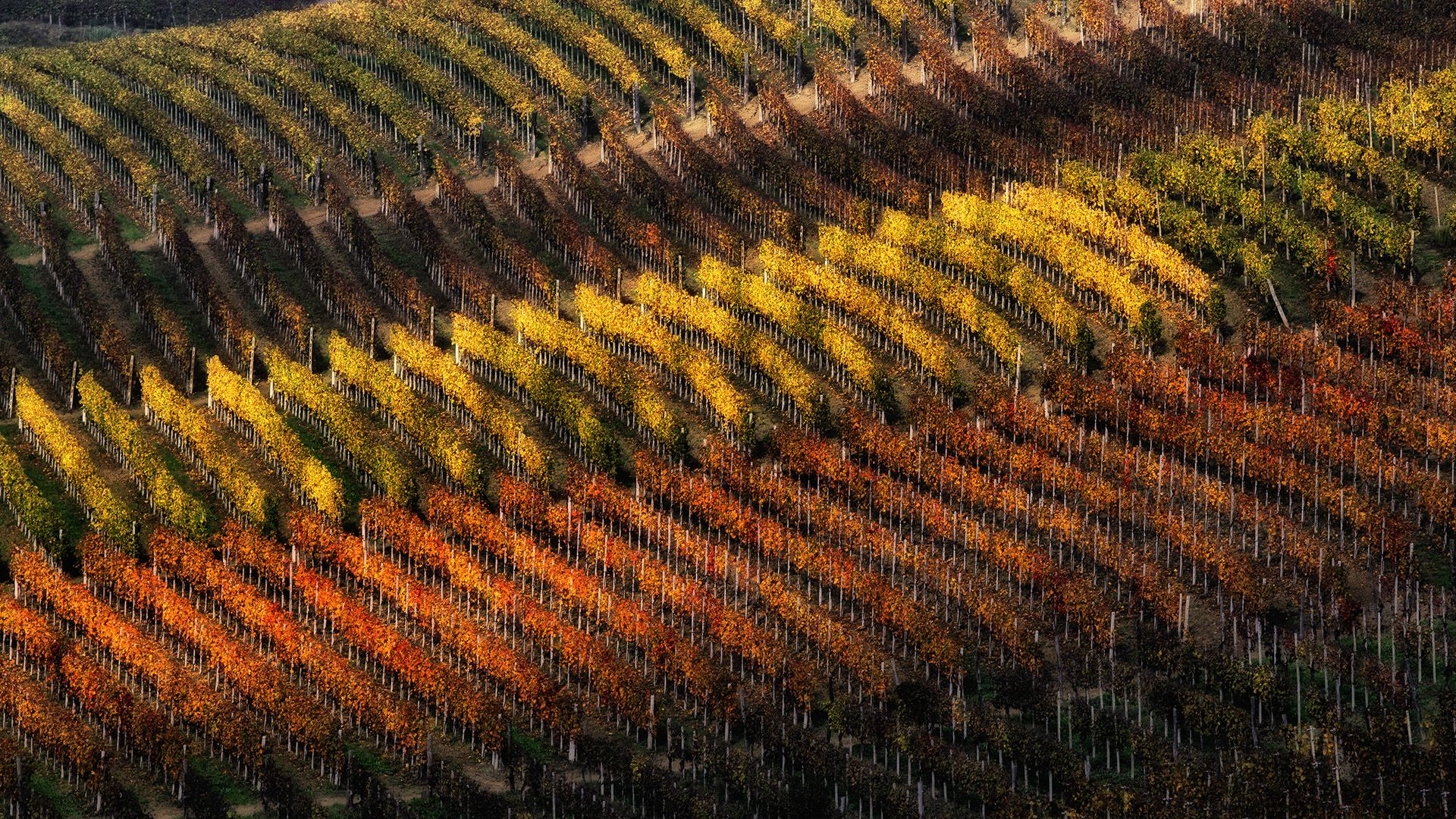 Wineyard stripes