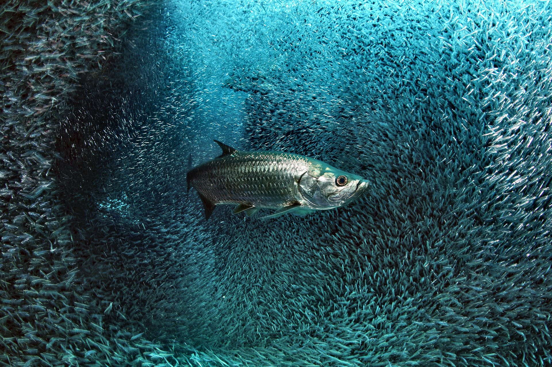 Tarpon in a cloud of glass fishes