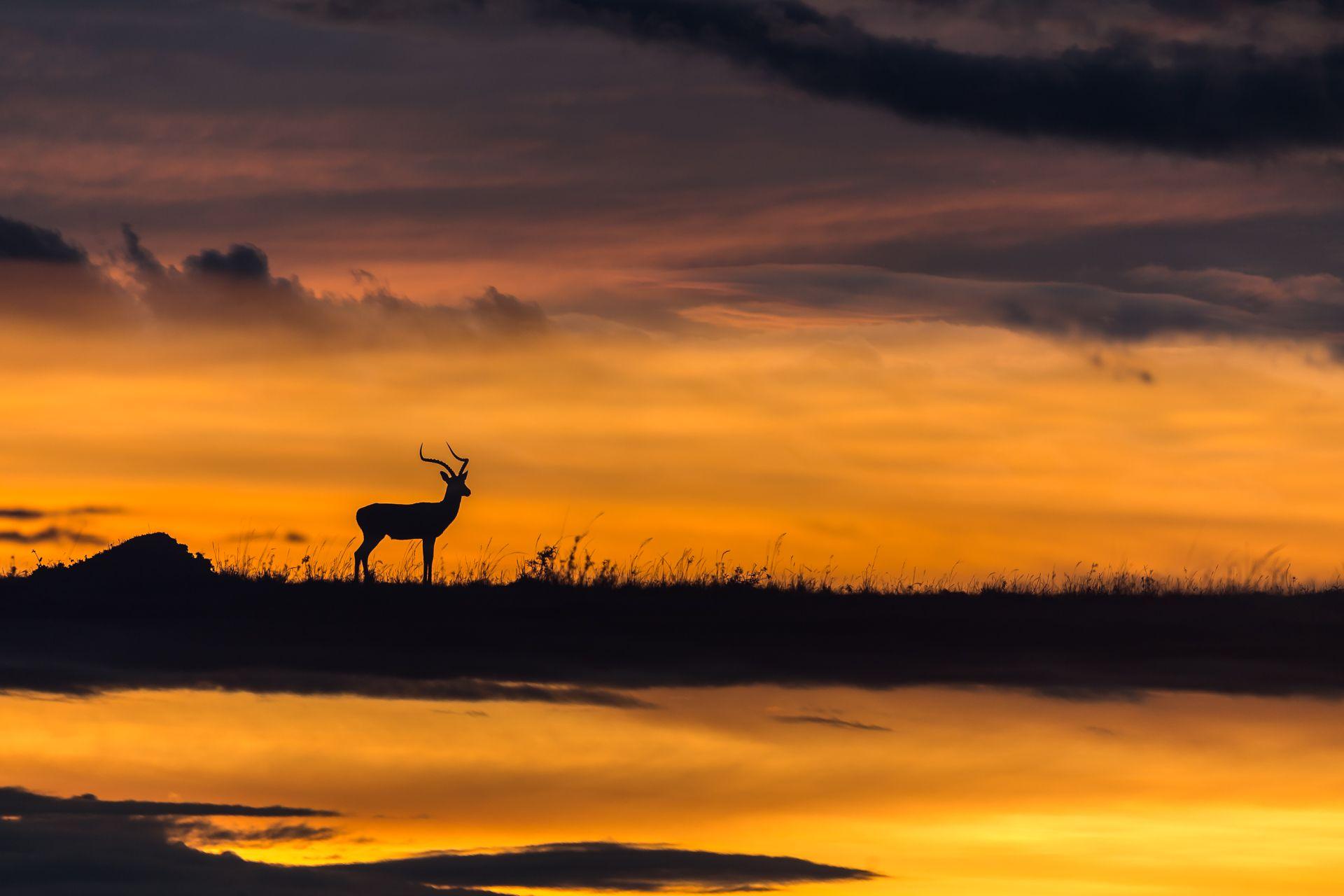 Impala Silhouette - Multiple Exposure
