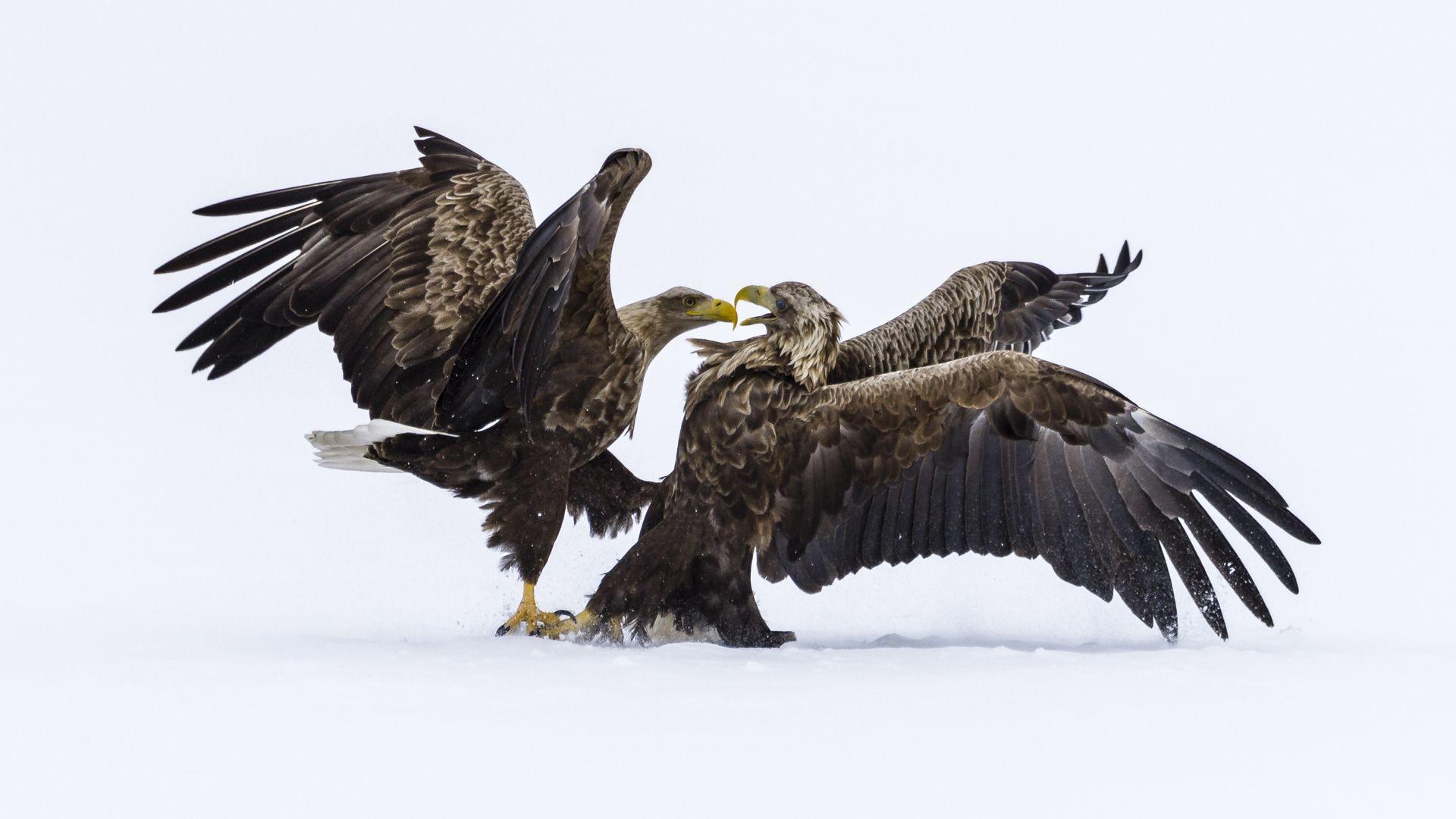 Eagles Arguing