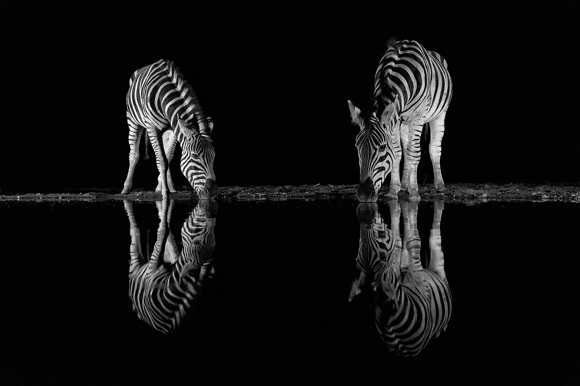 Zebras in the night