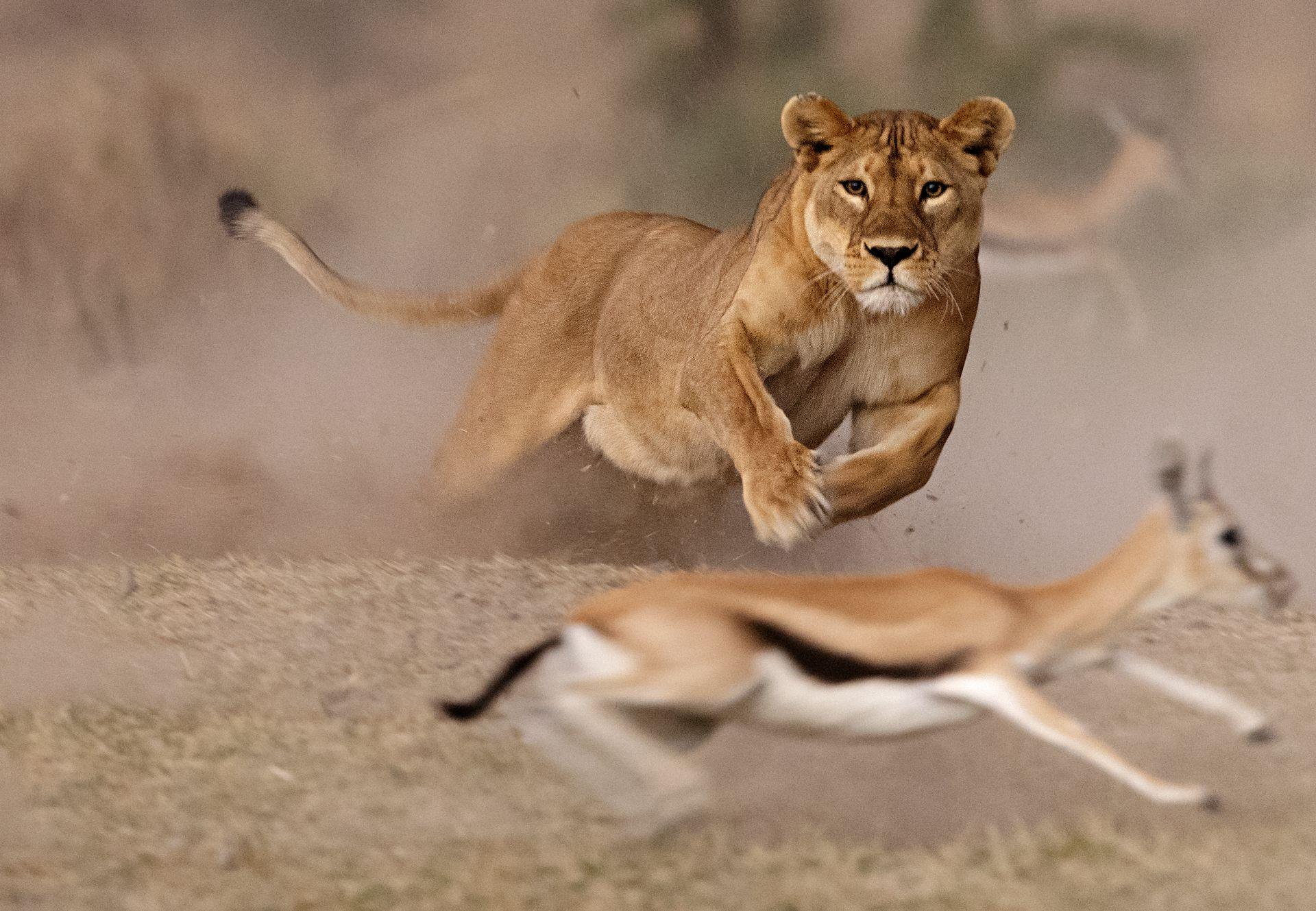 Lioness hunt