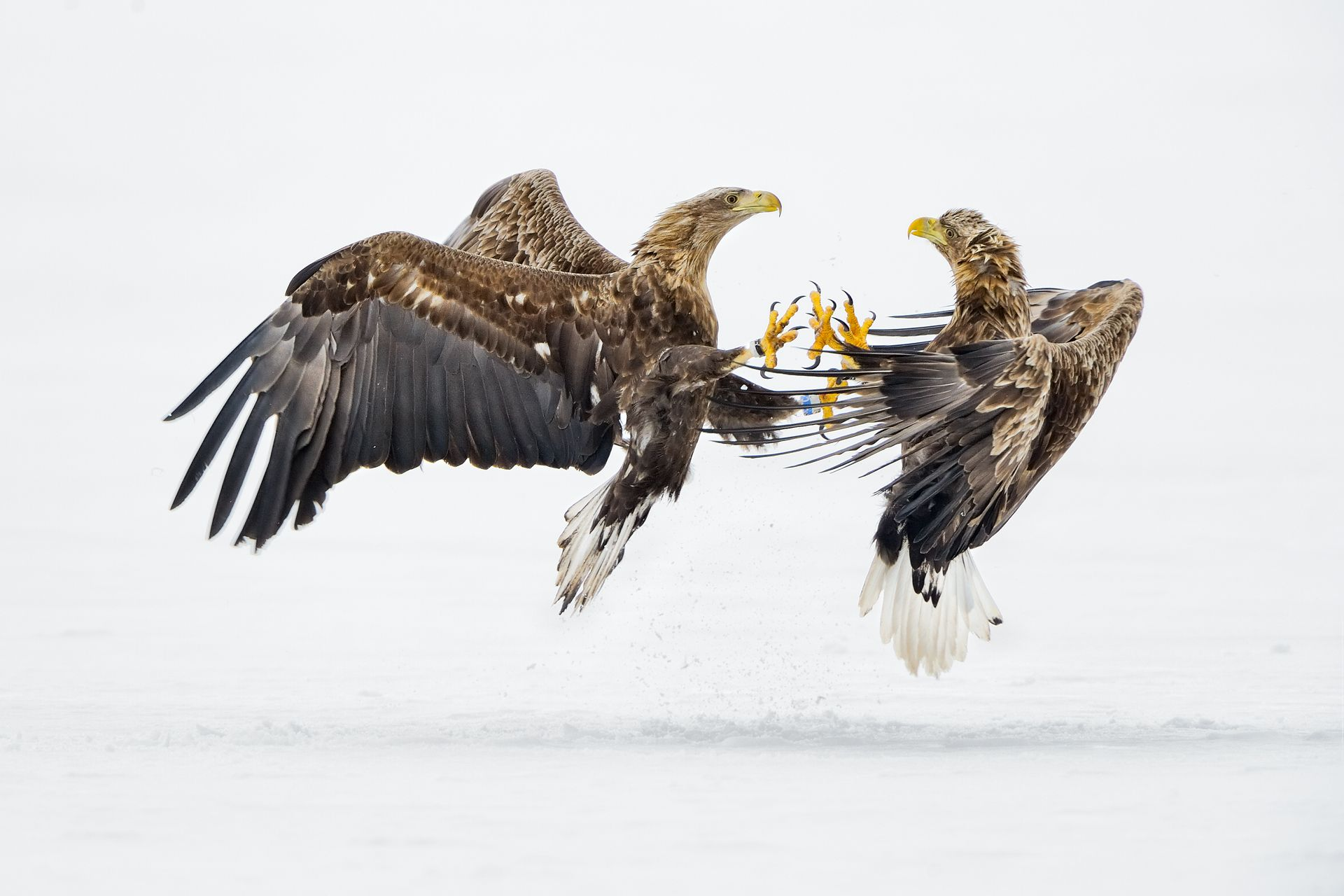 Eagles fight