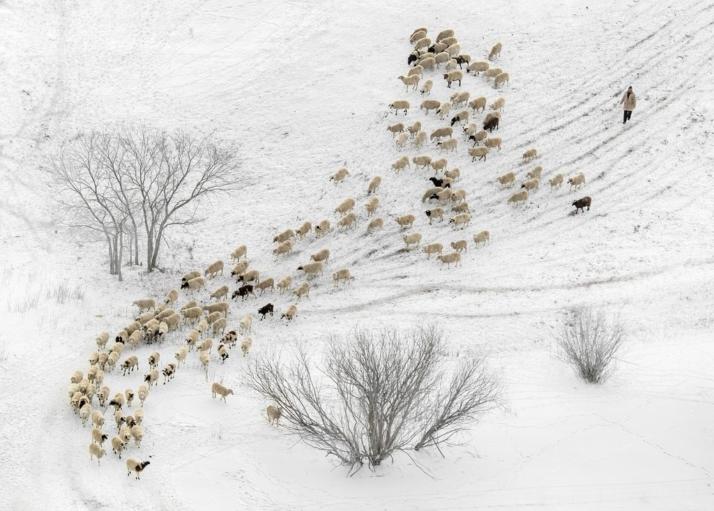 Song of herding sheep