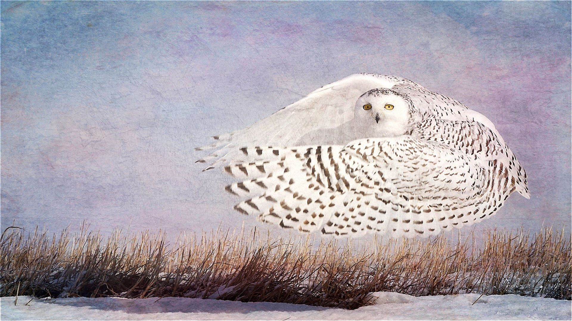 Snowy Owl Hover