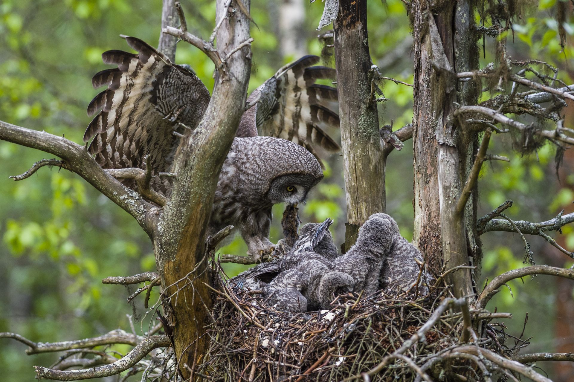 Great grey owl nest