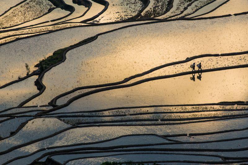 Contadini al lavoro nelle risaie