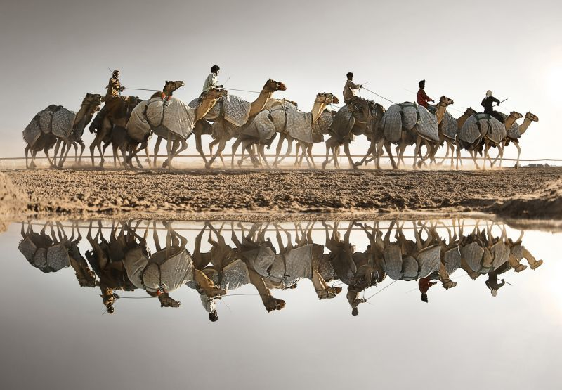 Swaihan Camels