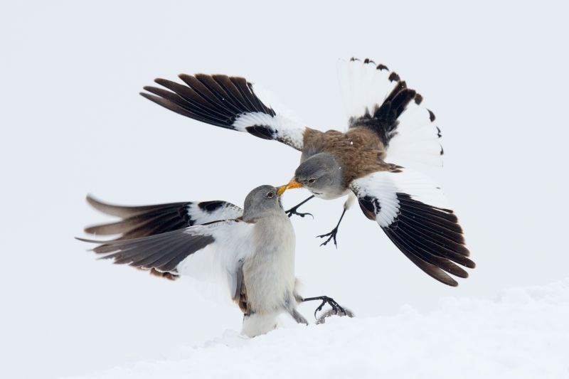 Kissing snow finches