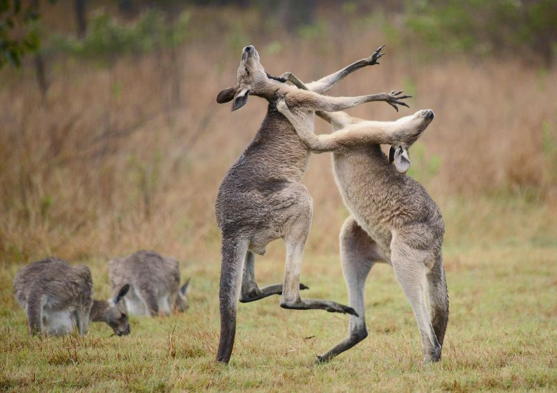 Young roos duelling