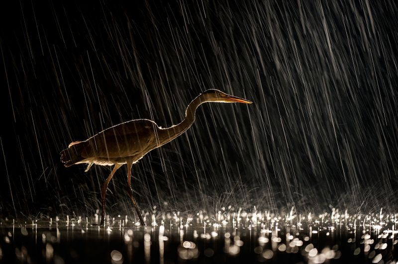 Grey heron in heavy rain