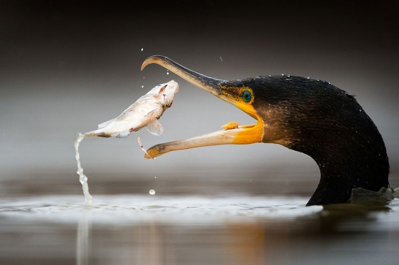 Cormorant with fish