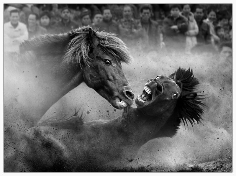 Fighting horses